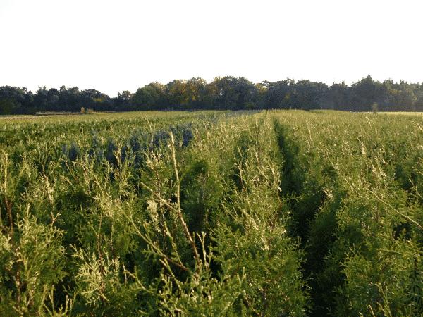 coniferen soorten