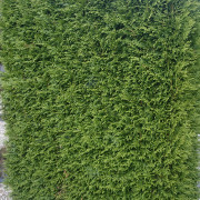 snelgroeiende conifeer thuja occidentalis brabant