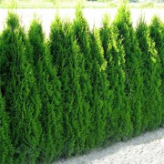 thuja_occidentalis_smaragd_1
