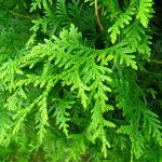 thuja_occidentalis_smaragd_2