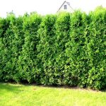 thuja_occidentalis_smaragd_3