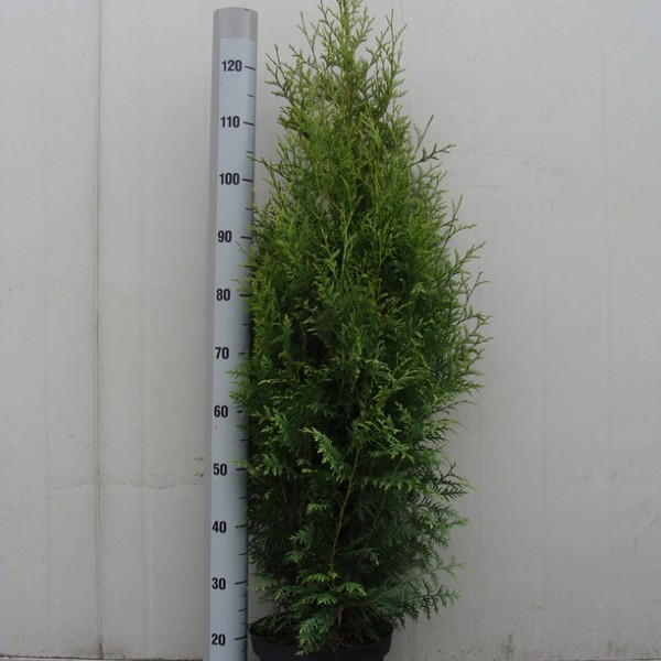 Thuja occidentalis Brabant 125-150 C7.5