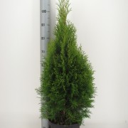 Thuja occidentalis Smaragd 80-100 C7.5