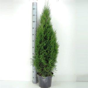 smaragd in pot 100-125