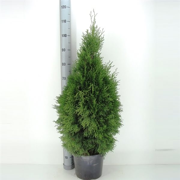 smaragd in pot 80-100