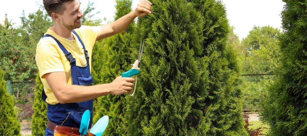Coniferen onderhouden in kegelvorm