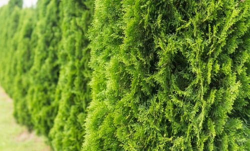 coniferenhaag planten door Coniferenbestellen.nl
