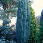 Chamaecyparis lawsoniana 'Blue Surprise' – False cypress Lawson cypress.