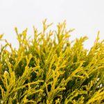 Chamaecyparis pisifera Filifera Aurea, 5