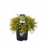 Chamaecyparis_pisifera_Filifera_Aurea_C3
