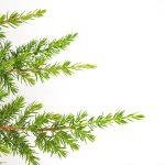 Juniperus conferta Schlager, 5b