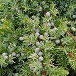 Juniperus conferta Schlager, kegels