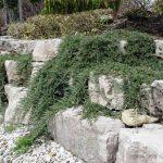 Juniperus horizontalis Wiltonii (3)