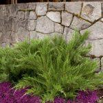 Juniperus pfitzeriana Mint Julep