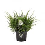Juniperus_pfitzeriana_Mint_Julep_C3