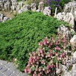 Juniperus procumbens Nana, 17-7-04, Appeltern (2)