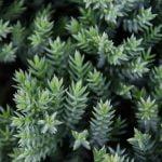 Juniperus procumbens Nana, 5