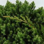 Juniperus procumbens Nana, 5a