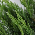 Juniperus sabina Tamariscifolia, 5
