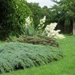 Juniperus squamata Blue Carpet (sq)