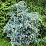 Juniperus squamata Meyeri, 2011-01-18 (2)