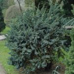 Juniperus squamata Meyeri, 2011-01-19