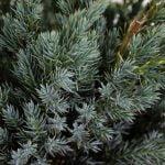 Juniperus squamata Meyeri, 5a