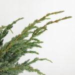 Juniperus squamata Meyeri, 5b