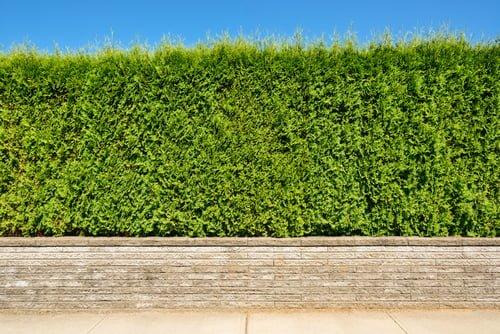 Het planten van coniferen in de zomermaanden